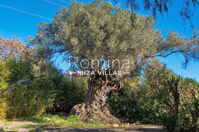 romina-ibiza-villas-rv-581-82-casa-ula-2garden olive tree